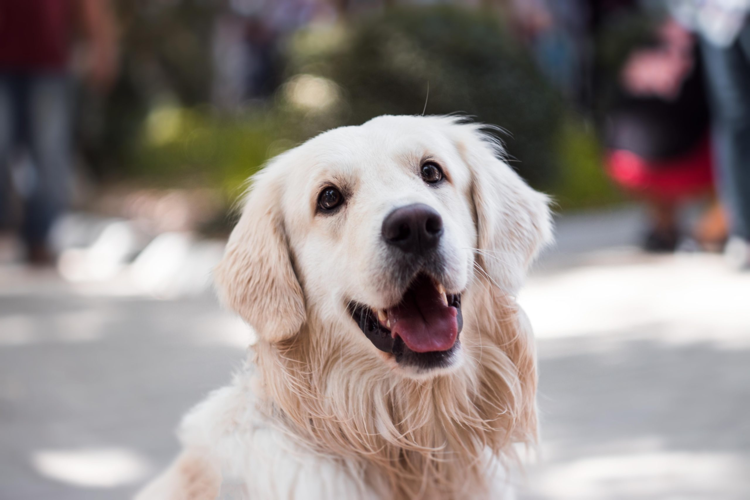 Adult Golden Retriever and Puppies – 5 Important food FAQs