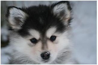 Adorable Pomeranian Husky Mix (Pomsky) – All that you want to know
