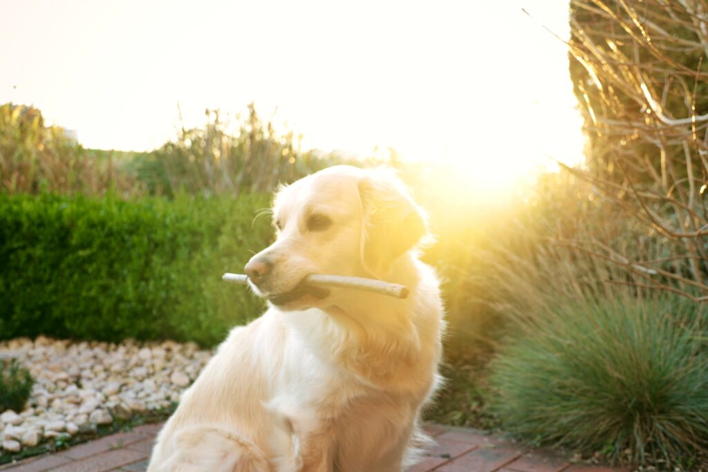 Adult Golden Retriever and Puppies - 5 Important food FAQs