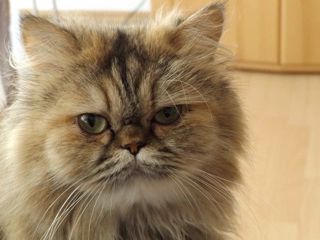 Cat care society-persian cat